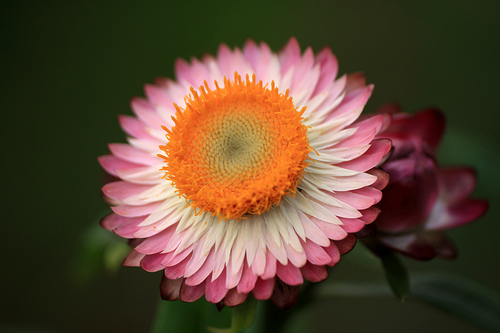 Ever Lasting Flower